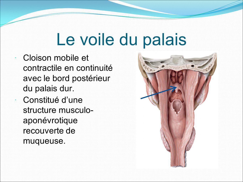 Le voile du palais Cloison mobile et contractile en continuité avec le bord postérieur du palais dur.