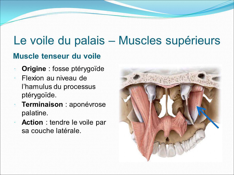 Le voile du palais – Muscles supérieurs