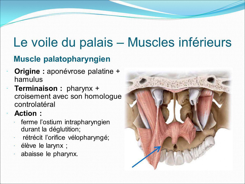 Le voile du palais – Muscles inférieurs