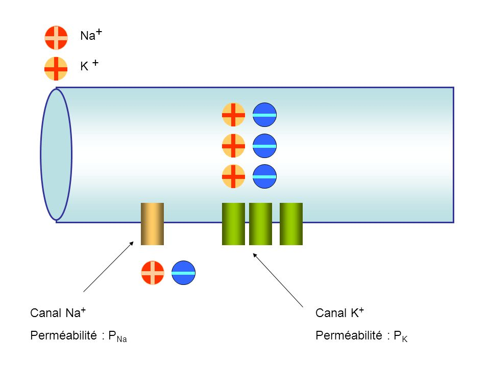 Na + + K Canal Na+ Perméabilité : PNa Canal K+ Perméabilité : PK