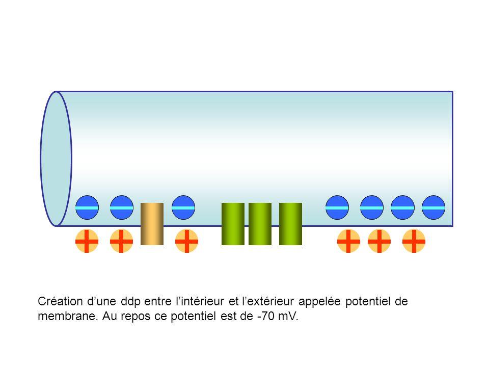Création d'une ddp entre l'intérieur et l'extérieur appelée potentiel de membrane.