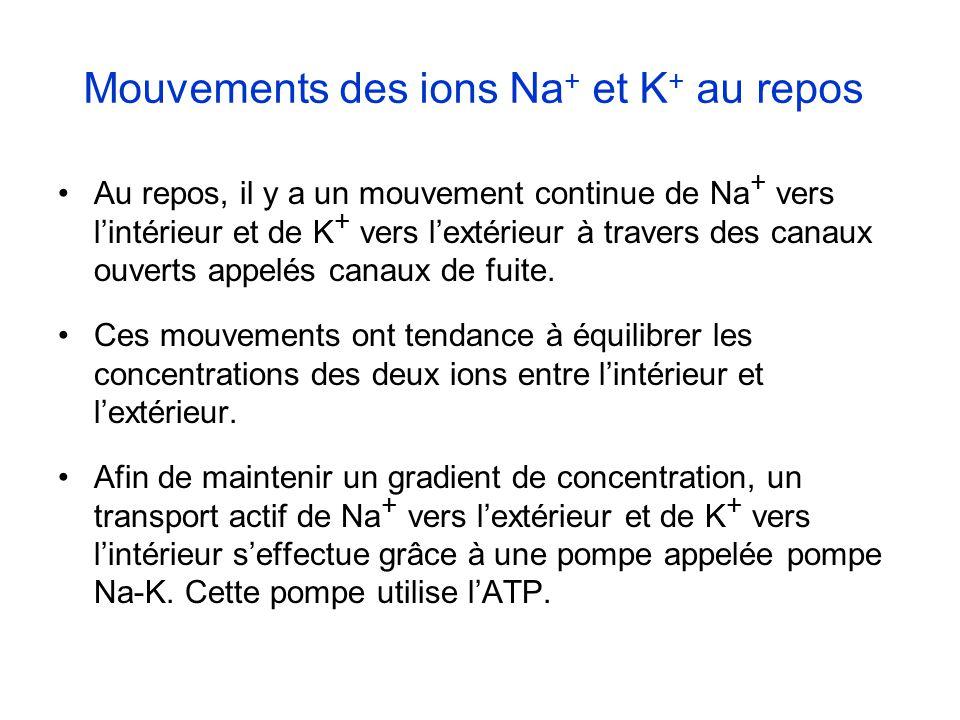 Mouvements des ions Na+ et K+ au repos