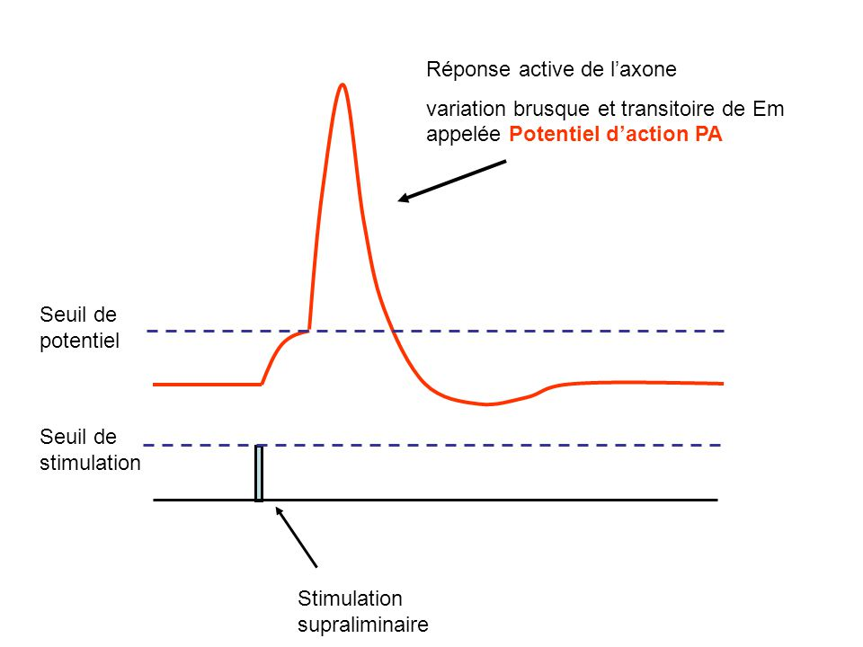 Réponse active de l'axone