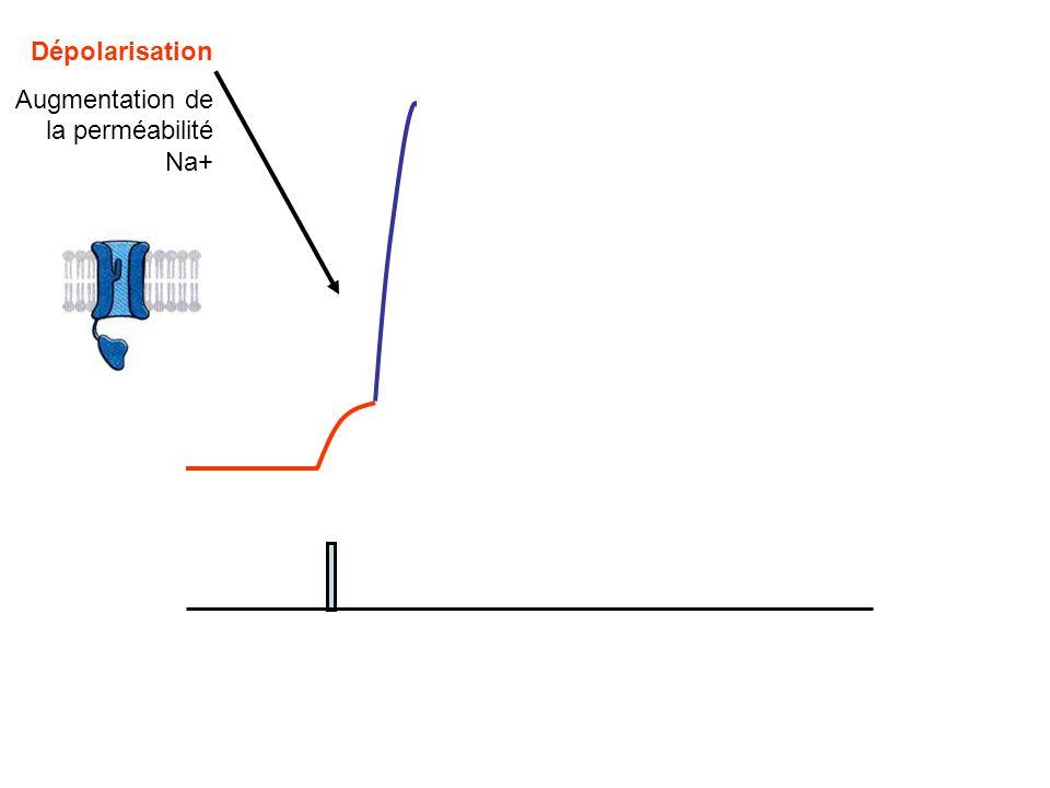 Dépolarisation Augmentation de la perméabilité Na+