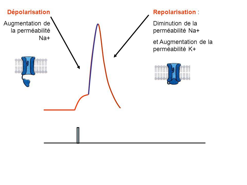Dépolarisation Augmentation de la perméabilité Na+ Repolarisation : Diminution de la perméabilité Na+