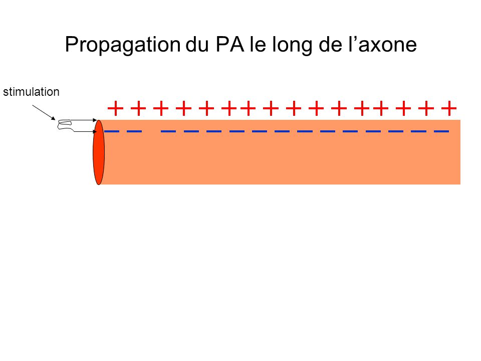 Propagation du PA le long de l'axone