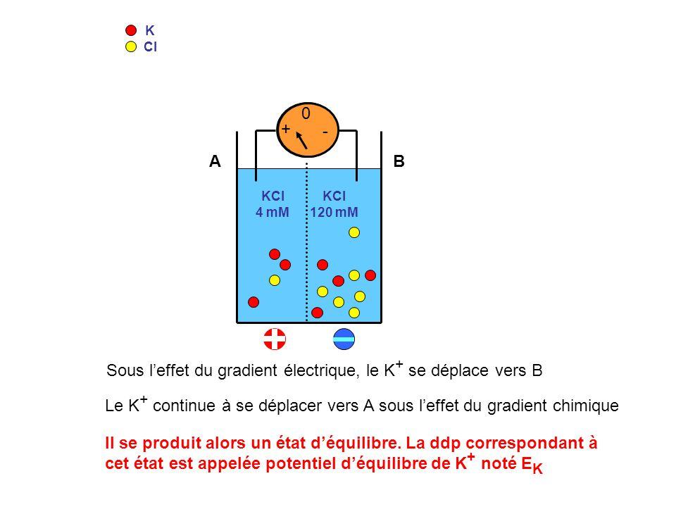 Sous l'effet du gradient électrique, le K+ se déplace vers B