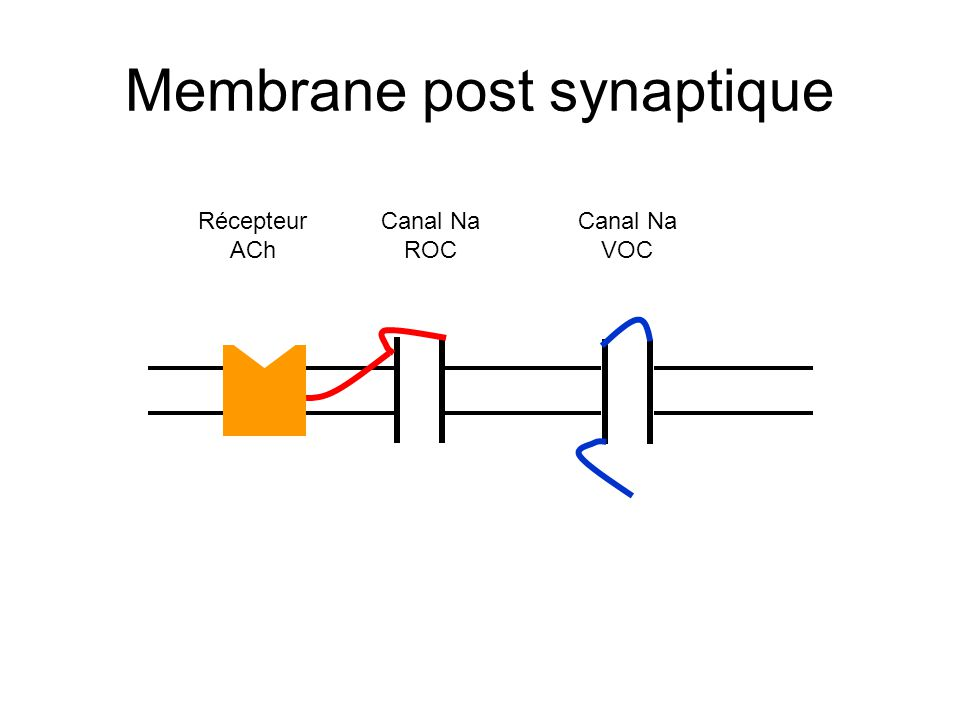 Membrane post synaptique