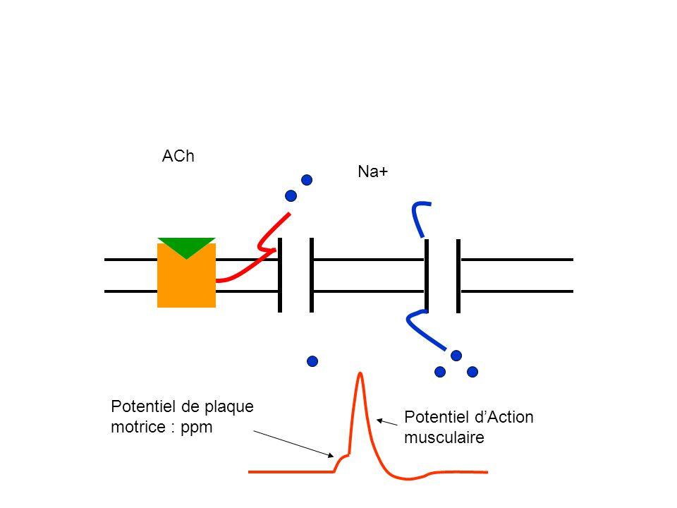 ACh Na+ Potentiel de plaque motrice : ppm Potentiel d'Action musculaire