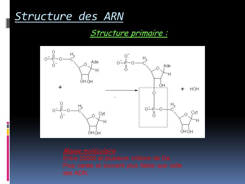 Structure des ARN Structure primaire : Masse moléculaire
