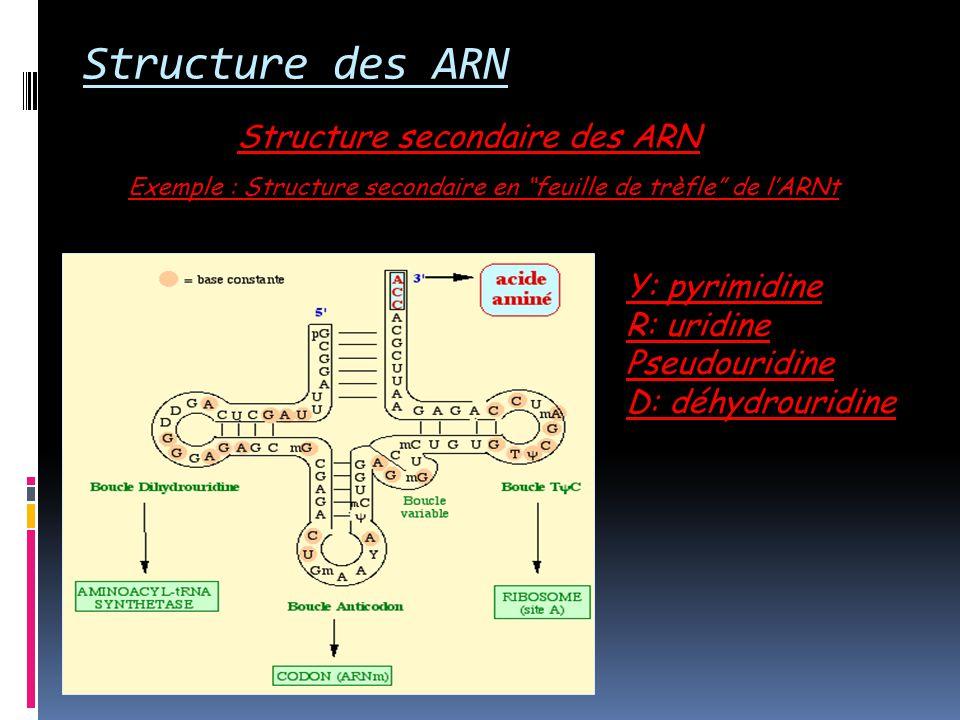 Structure des ARN Structure secondaire des ARN Y: pyrimidine