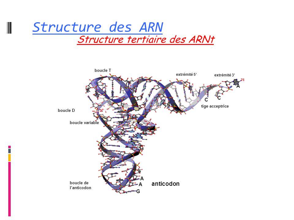 Structure des ARN Structure tertiaire des ARNt anticodon A C G