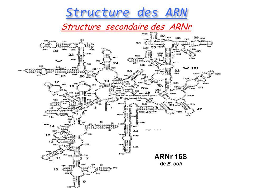 Structure des ARN Structure secondaire des ARNr ARNr 16S de E. coli