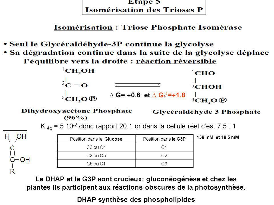 DHAP synthèse des phospholipides