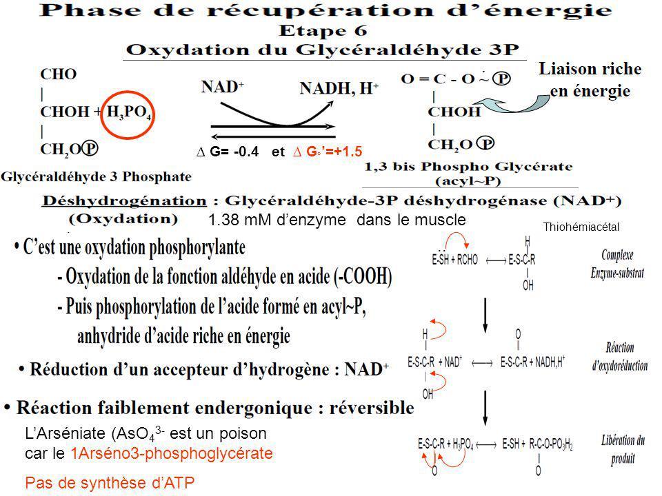 1.38 mM d'enzyme dans le muscle