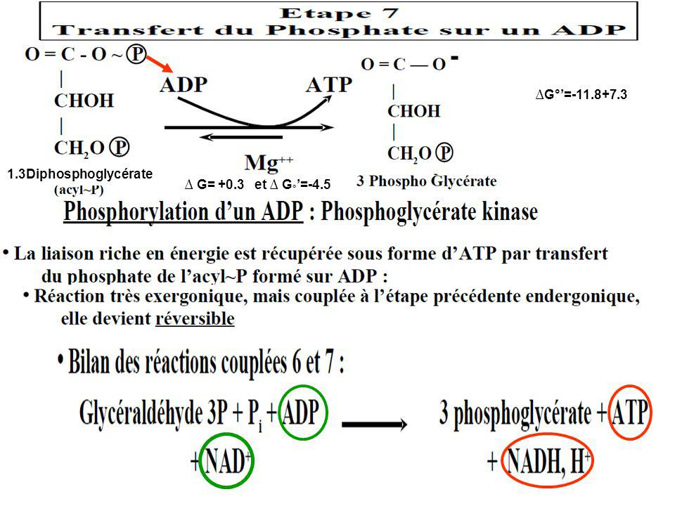 1.3Diphosphoglycérate ∆G°'=-11.8+7.3 ∆ G= +0.3 et ∆ G°'=-4.5