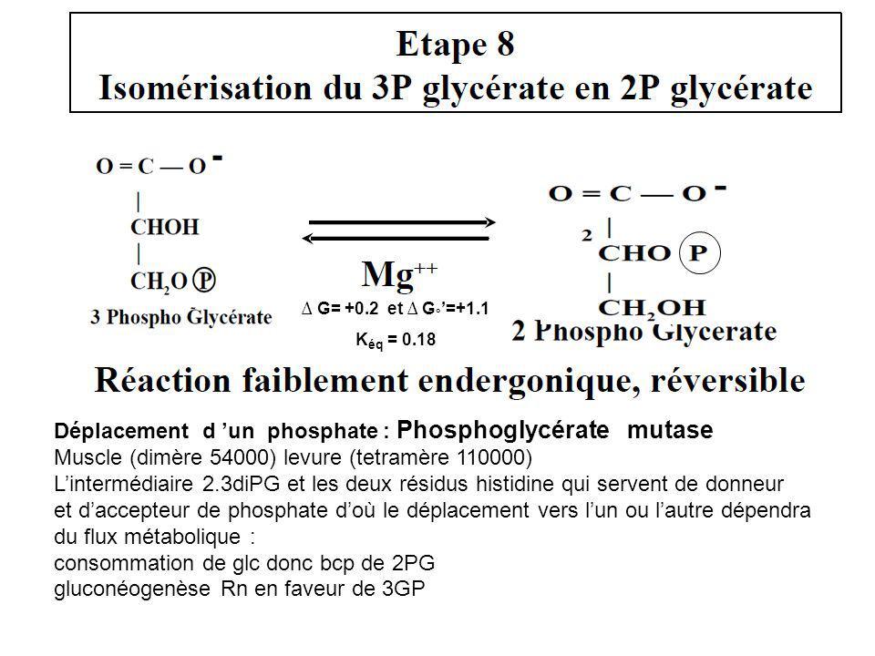 Déplacement d 'un phosphate : Phosphoglycérate mutase
