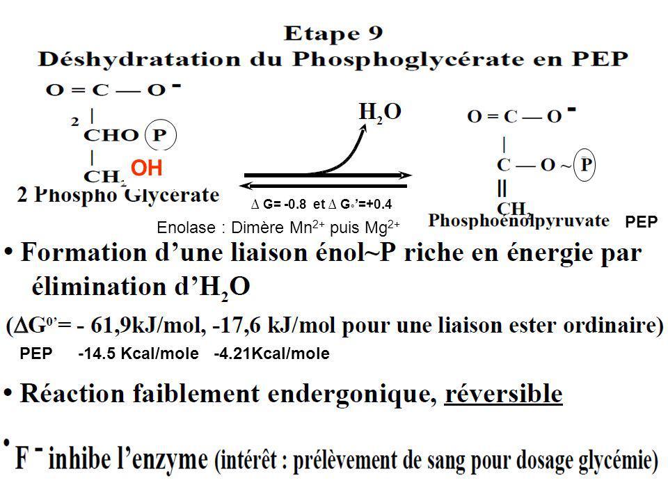 OH PEP Enolase : Dimère Mn2+ puis Mg2+ -14.5 Kcal/mole -4.21Kcal/mole