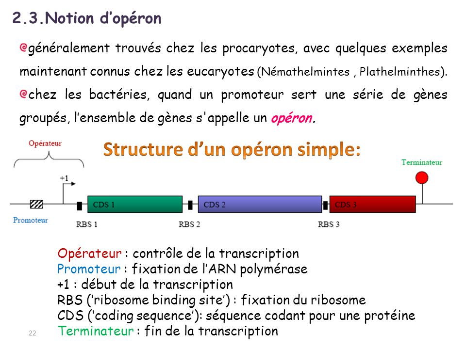 Structure d'un opéron simple: