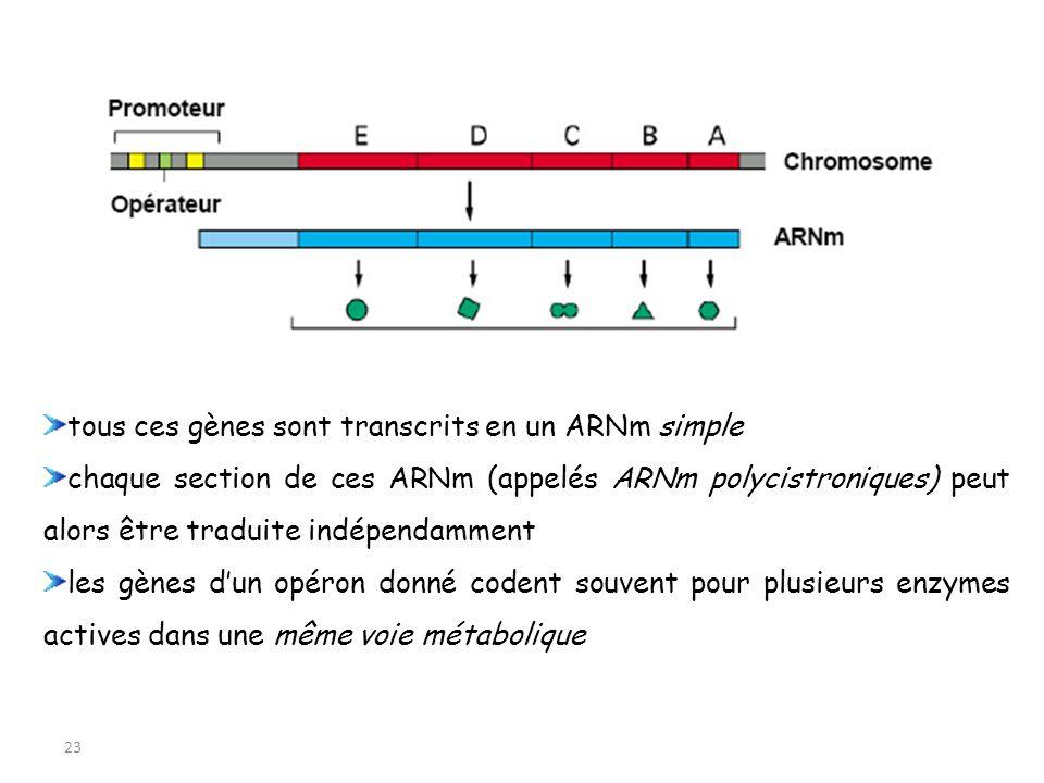 tous ces gènes sont transcrits en un ARNm simple