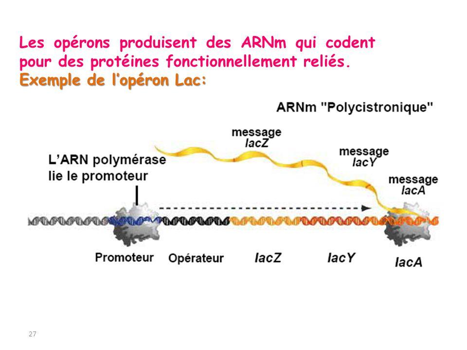 Les opérons produisent des ARNm qui codent pour des protéines fonctionnellement reliés.