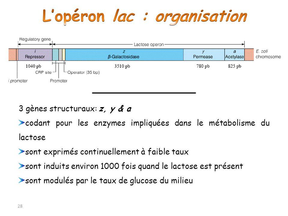 L'opéron lac : organisation