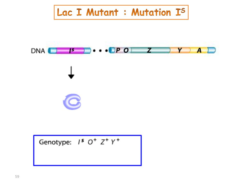 Lac I Mutant : Mutation IS
