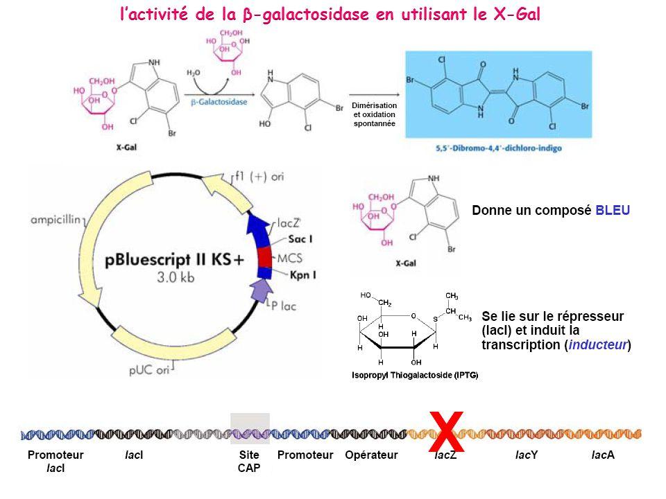 l'activité de la β-galactosidase en utilisant le X-Gal