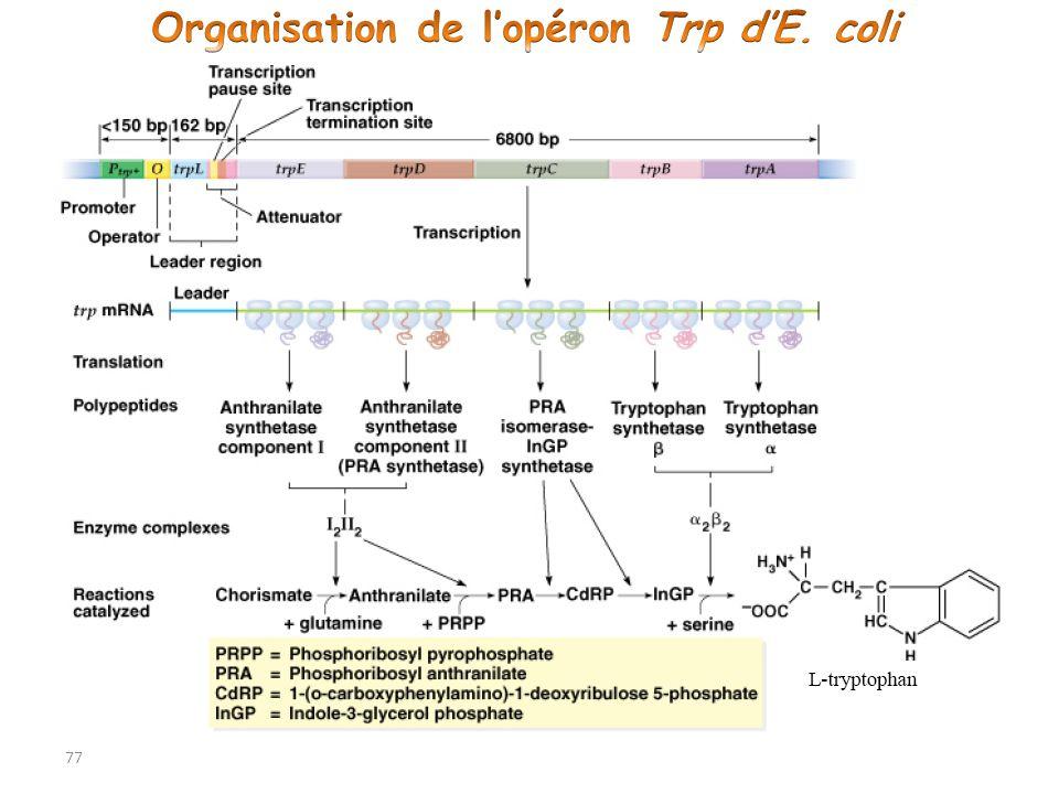 Organisation de l'opéron Trp d'E. coli