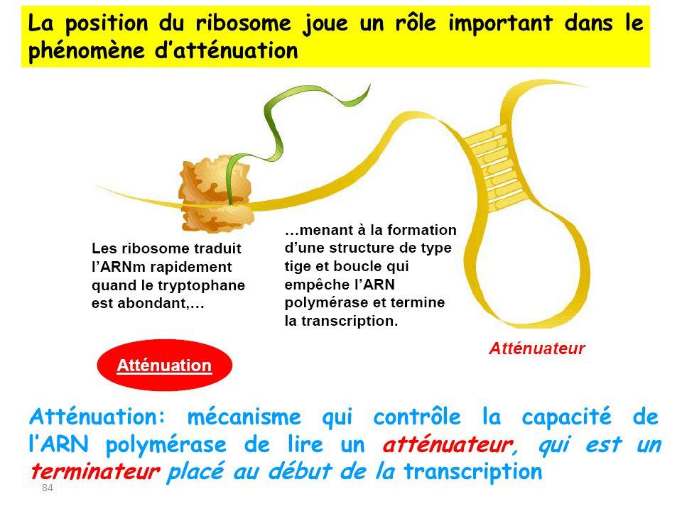La position du ribosome joue un rôle important dans le phénomène d'atténuation