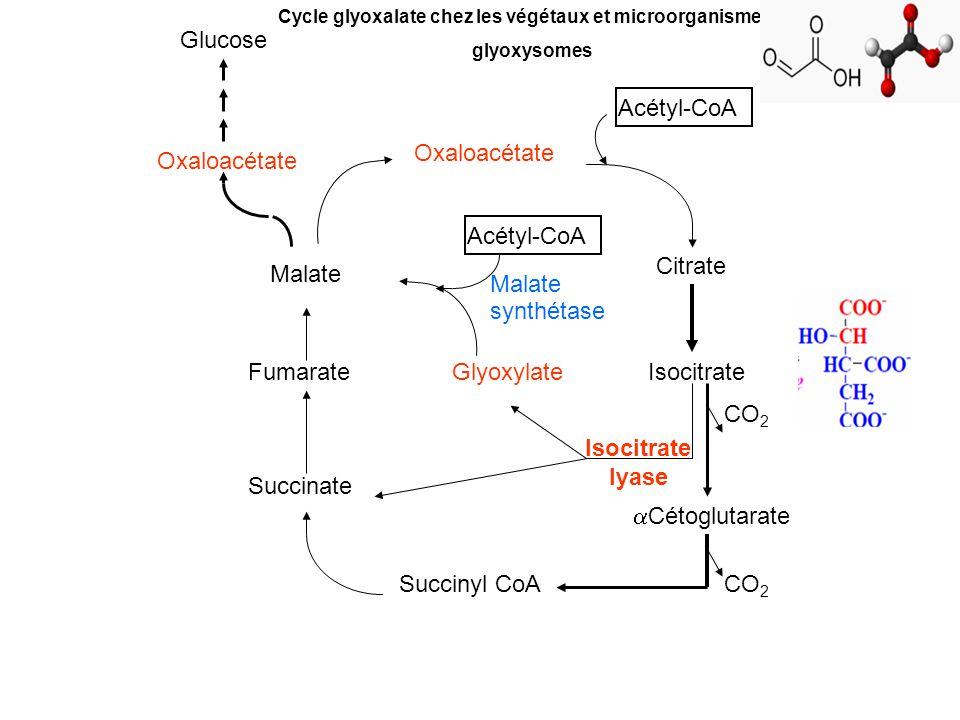 Glucose Acétyl-CoA Oxaloacétate Oxaloacétate Acétyl-CoA Citrate Malate