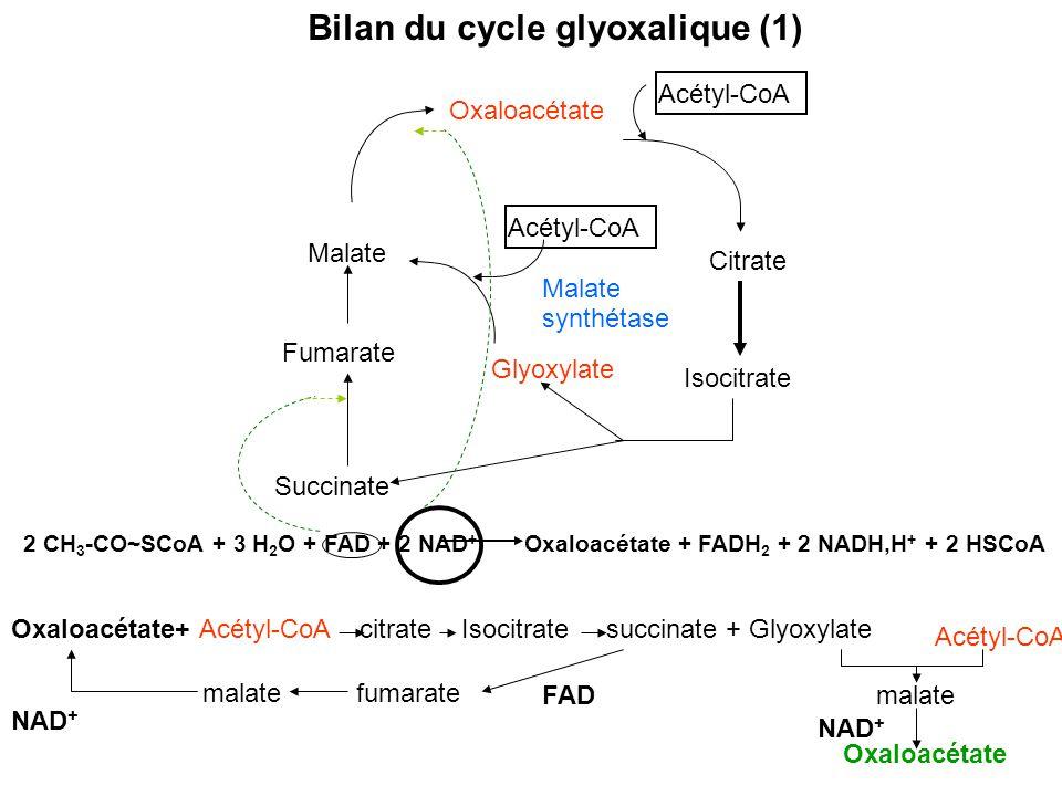 Bilan du cycle glyoxalique (1)