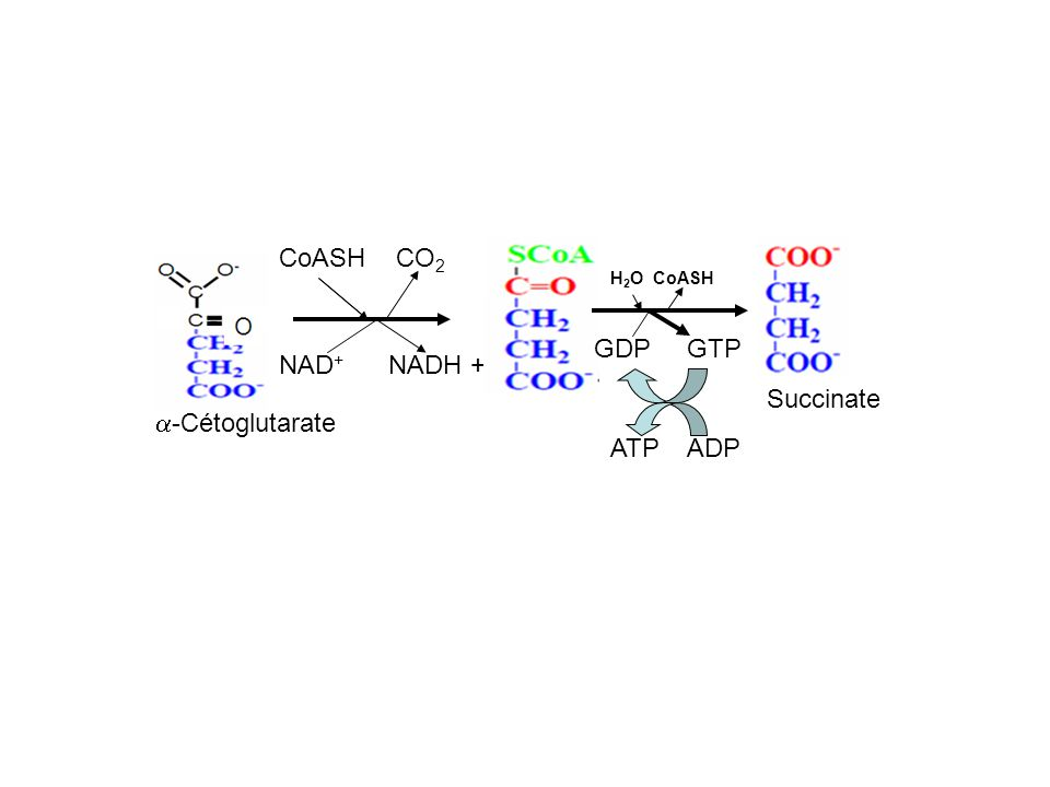 CoASH CO2 GDP GTP NAD+ NADH + H+ Succinate a-Cétoglutarate ATP ADP