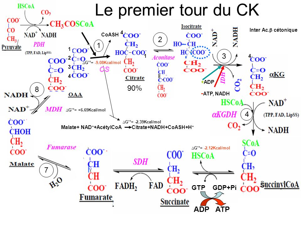 Le premier tour du CK 2 1 3 CS 8 90% 4 5 7 6 ADP ATP -ATP, NADH S