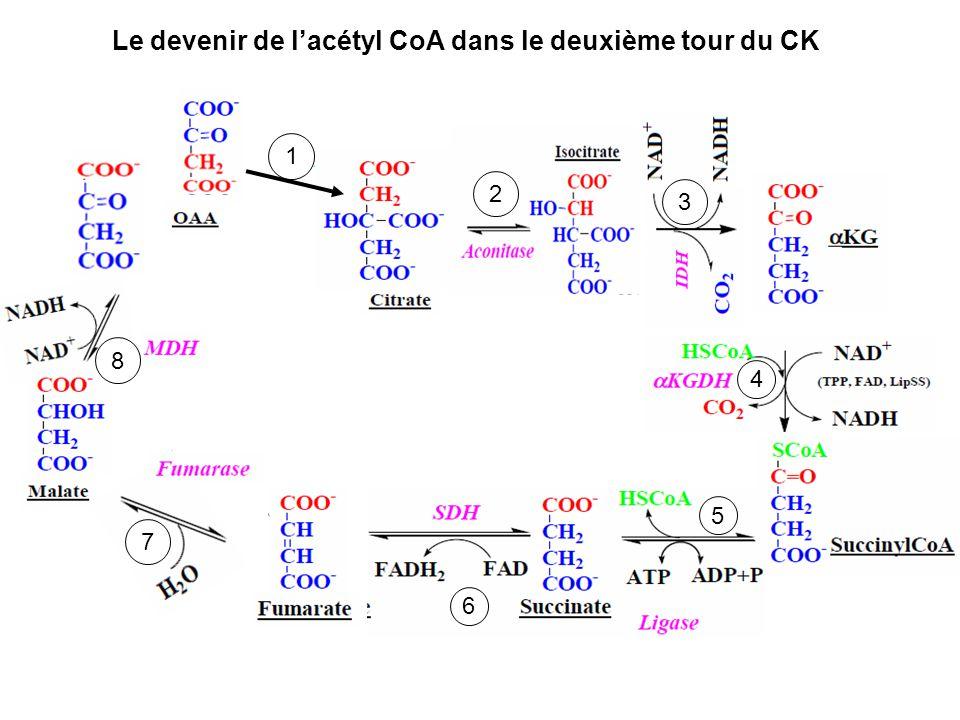 Le devenir de l'acétyl CoA dans le deuxième tour du CK
