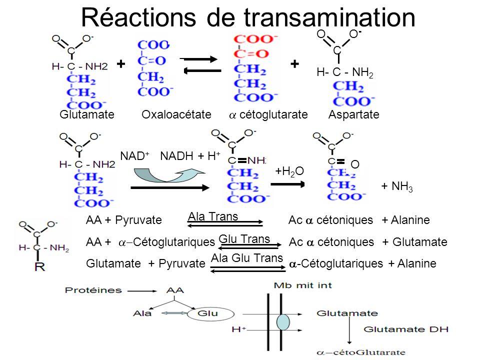 Réactions de transamination