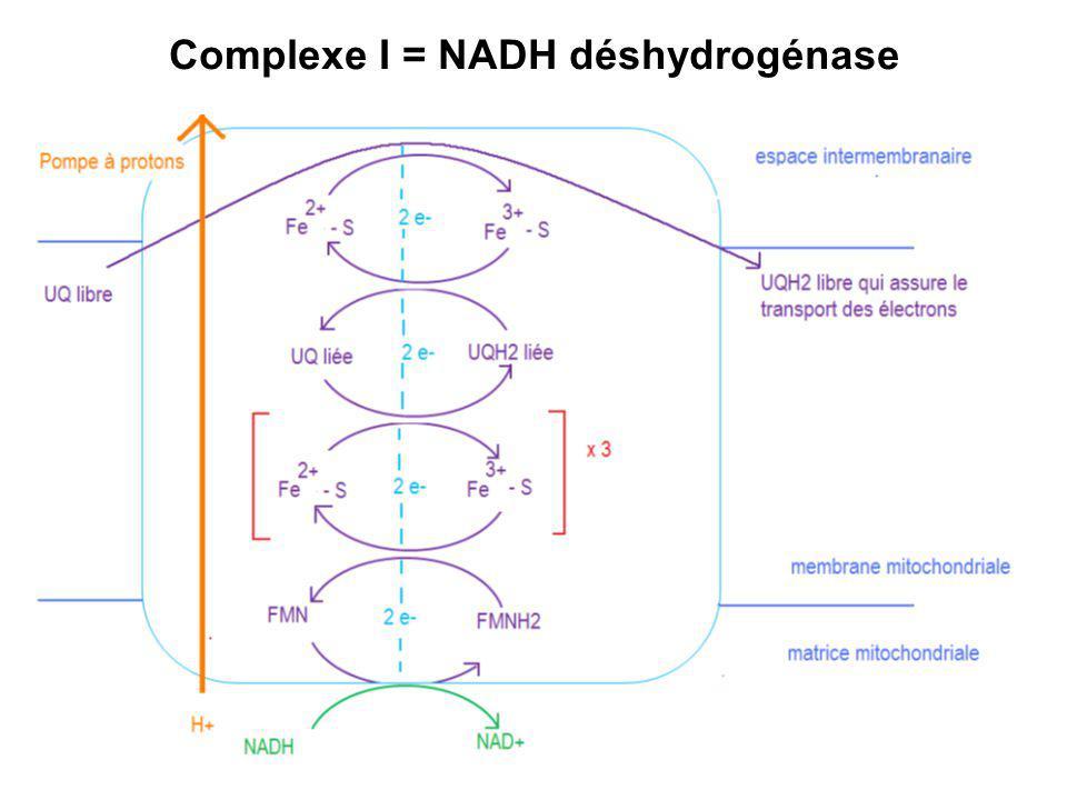 Complexe I = NADH déshydrogénase