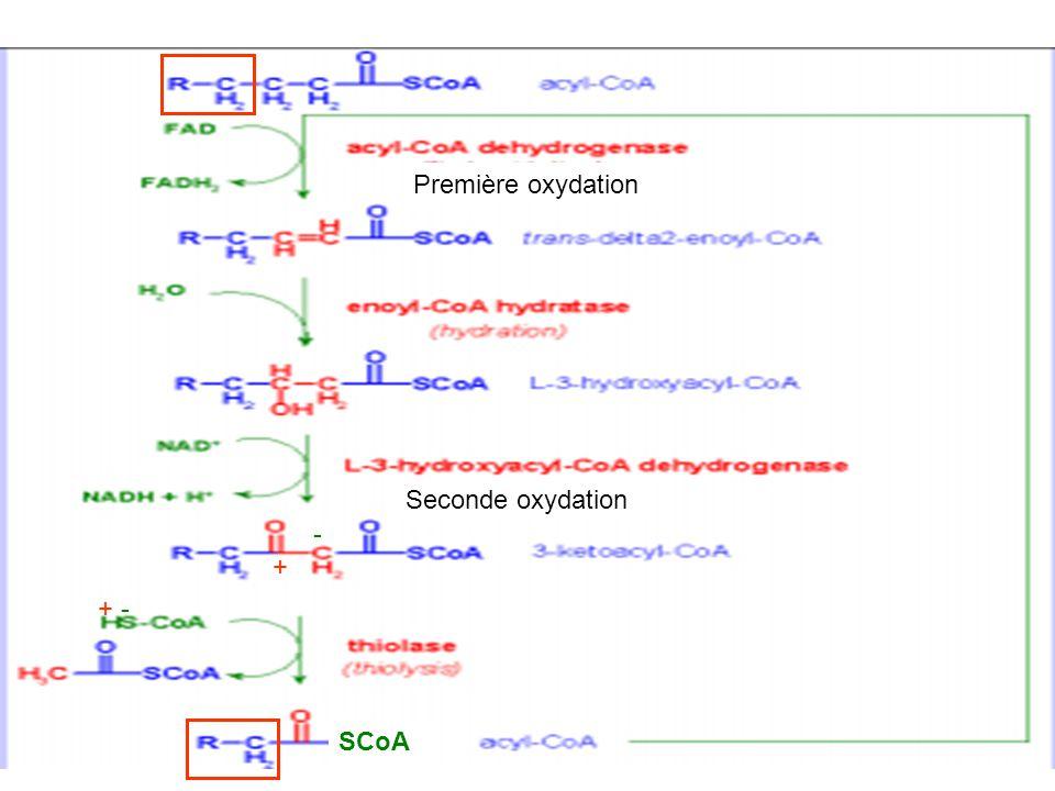Première oxydation Seconde oxydation - + + - SCoA