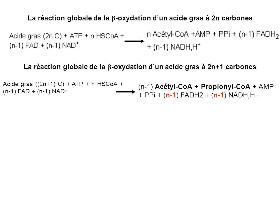 La réaction globale de la b-oxydation d'un acide gras à 2n carbones