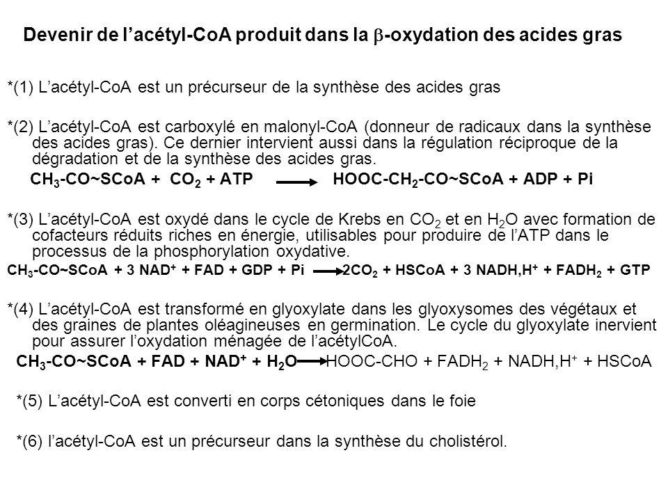 Devenir de l'acétyl-CoA produit dans la b-oxydation des acides gras