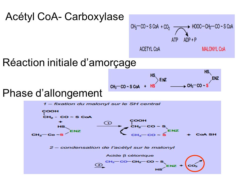 Acétyl CoA- Carboxylase