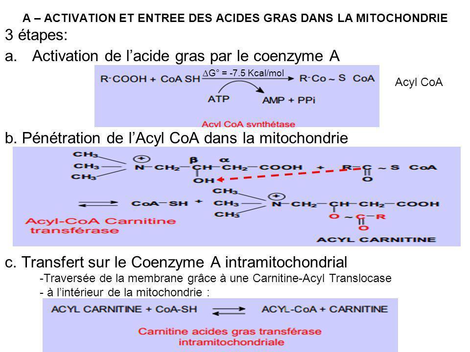 A – ACTIVATION ET ENTREE DES ACIDES GRAS DANS LA MITOCHONDRIE