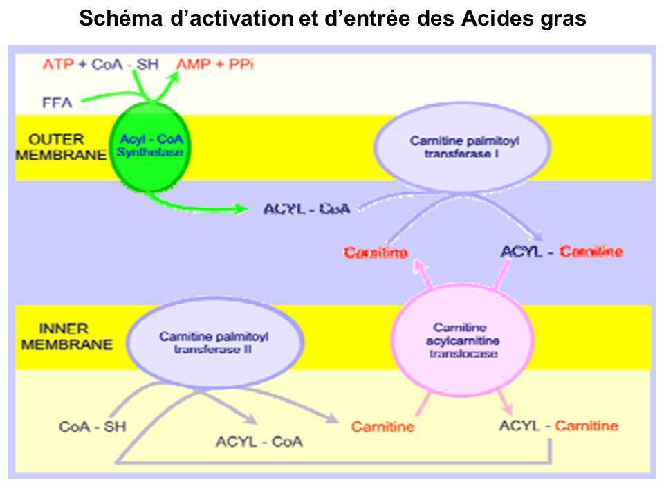Schéma d'activation et d'entrée des Acides gras