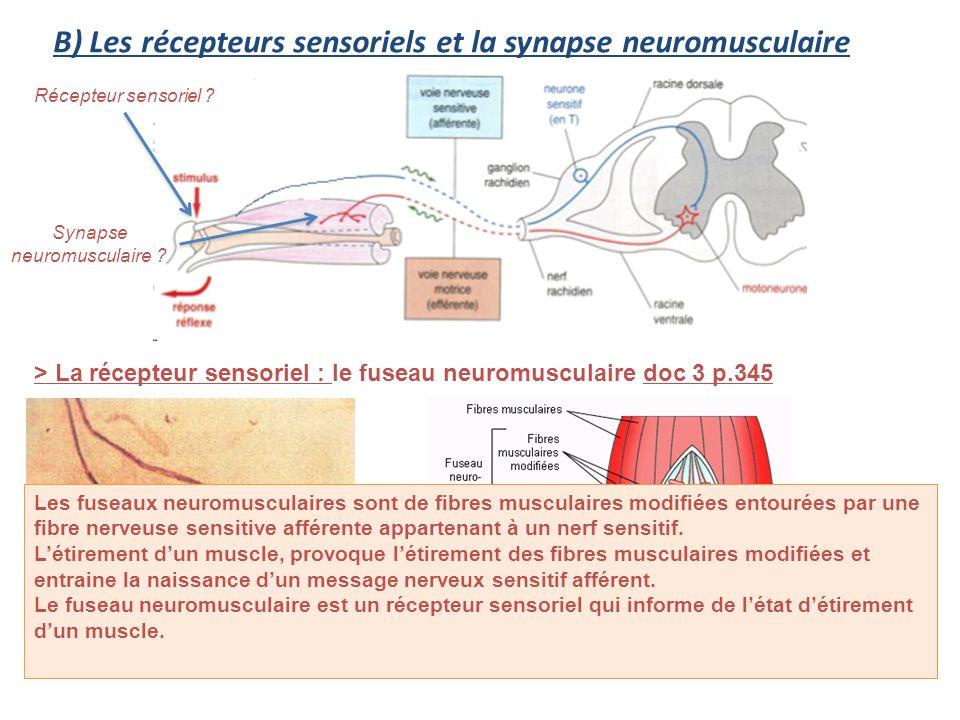 B) Les récepteurs sensoriels et la synapse neuromusculaire