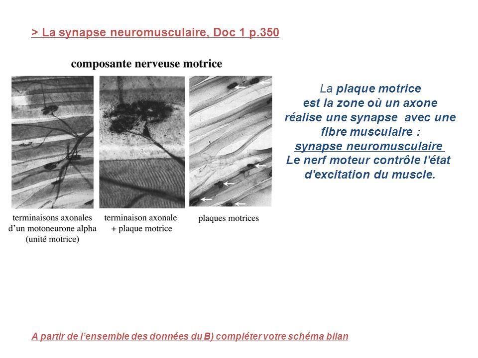 > La synapse neuromusculaire, Doc 1 p.350