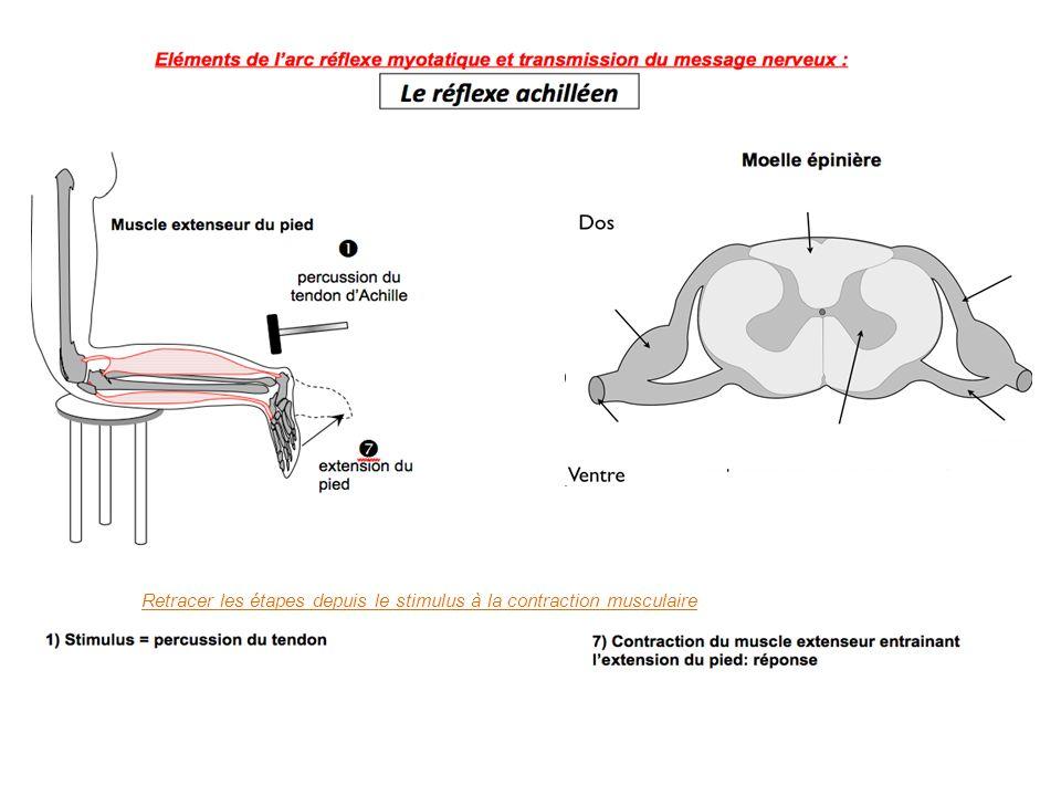 Retracer les étapes depuis le stimulus à la contraction musculaire