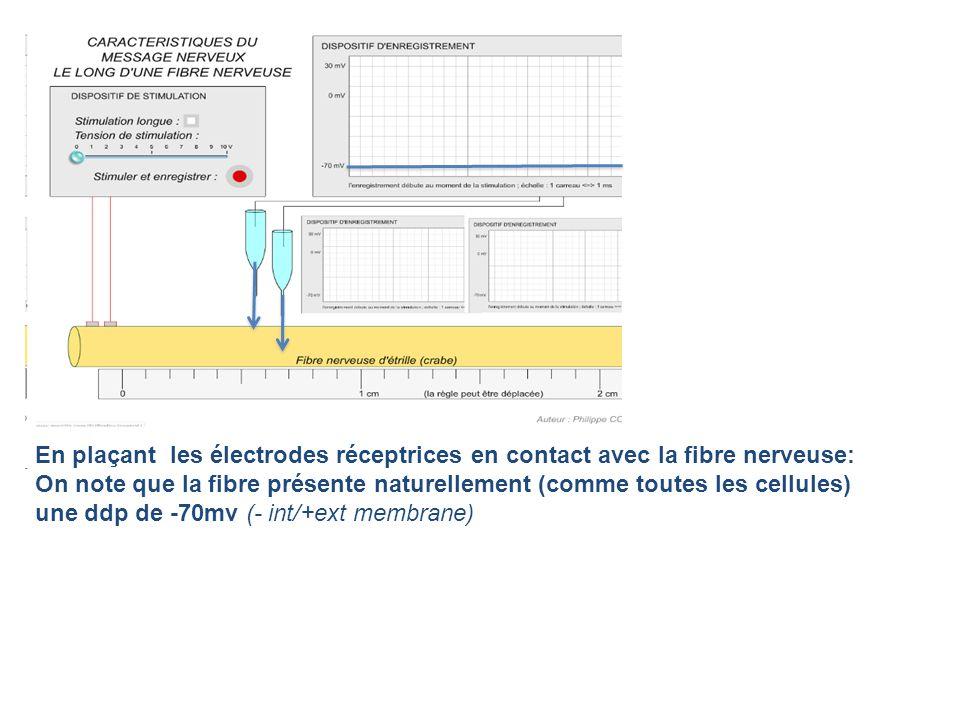 En plaçant les électrodes réceptrices en contact avec la fibre nerveuse: