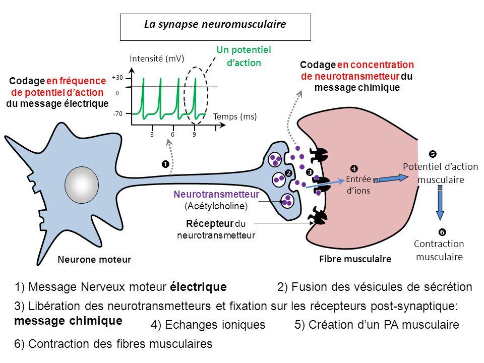 La synapse neuromusculaire