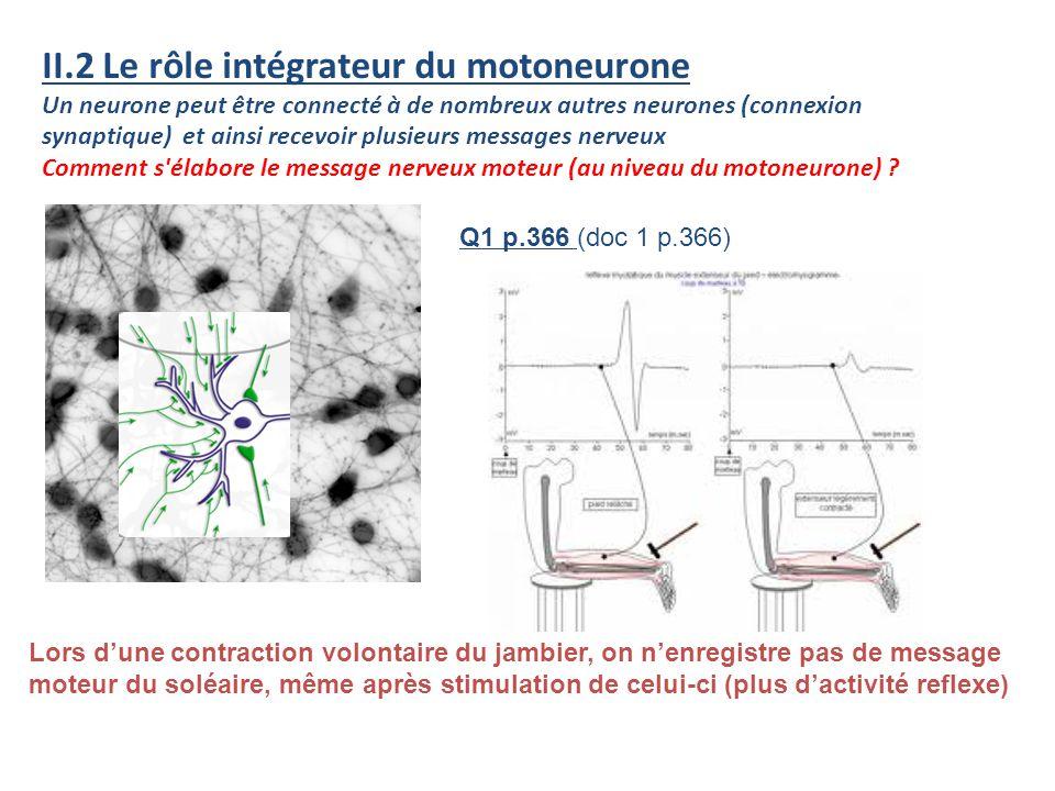 II.2 Le rôle intégrateur du motoneurone