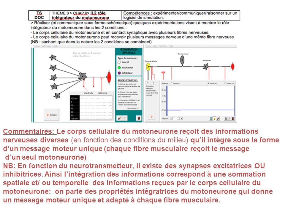 Commentaires: Le corps cellulaire du motoneurone reçoit des informations